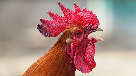 rooster_16x9